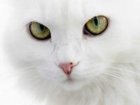 Обои для рабочего стола: Белый кот