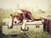 Обои для рабочего стола: Собака на чемоданах