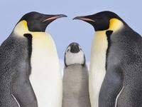 Обои для рабочего стола: Королевские пингвины