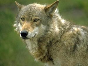 Обои Волк