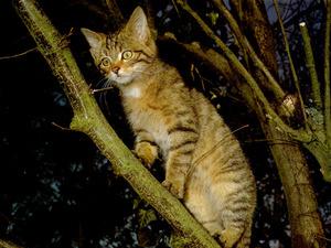 Обои Камышовый кот на дереве