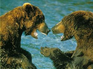 Обои Бурые медведи