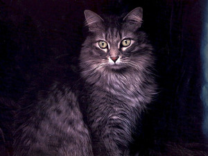 Обои Сибирская кошка