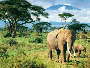 Обои Слоны