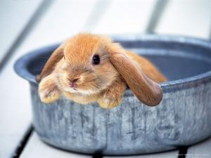 Обои Маленький кролик