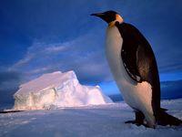 Обои для рабочего стола: Королевский пингвин