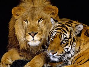 Обои Лев и тигр