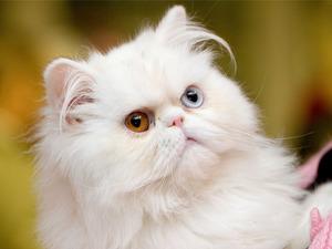 Обои Перс альбинос