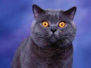 Обои Британский голубой кот