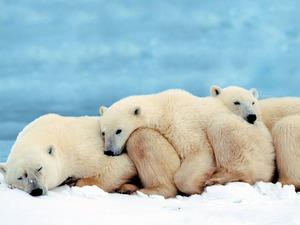 Обои Белые медведи