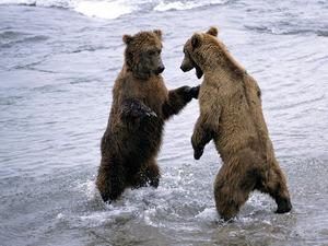 Обои Медведи