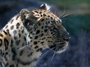 Обои Леопард