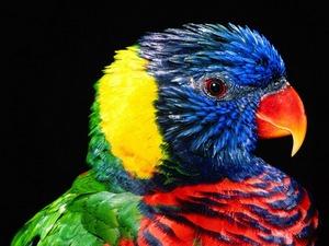 Обои Попугай
