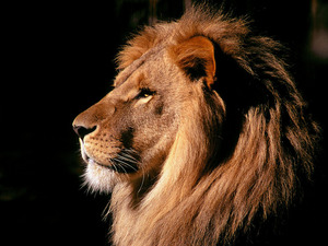 Обои Лев