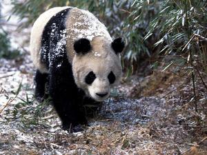 Обои Большая панда