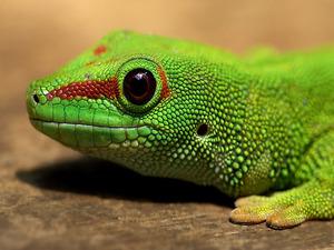Обои Мадагаскарский дневной геккон