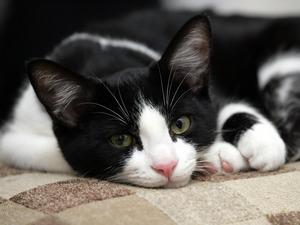 Обои Кошка