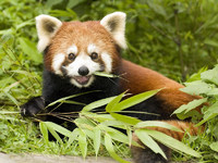 Обои для рабочего стола: Малая панда
