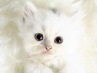 Обои для рабочего стола: Белый котенок