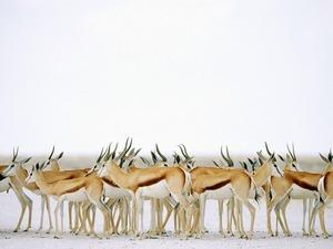 Обои Антилопы импала