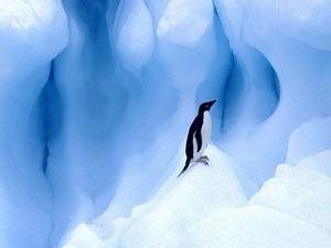 Обои Пингвин в снегах