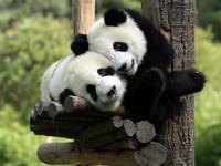 Обои для рабочего стола: Панды