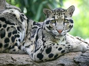 Обои Дымчатый леопард