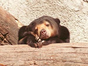 Обои Медведь
