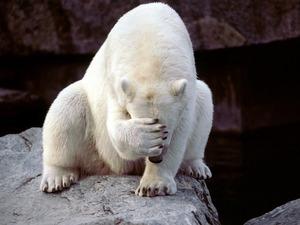 Обои Белый медведь