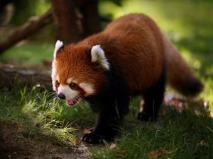 Обои Малая красная панда