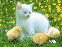 Обои для рабочего стола: Кошка и цыплята