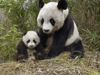 Обои для рабочего стола: Гигантские панды