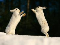 Обои для рабочего стола: Белые зайцы