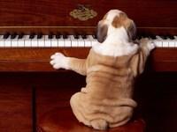 Обои для рабочего стола: Собака-пианист
