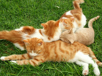 Обои для рабочего стола: Рыжие кошки