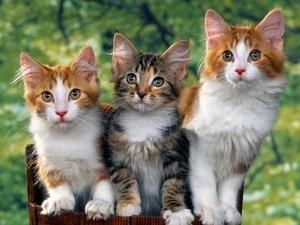 Обои Кошки