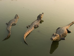 Обои Крокодилы