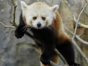 Обои Красная малая панда