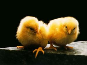 Обои Цыплята