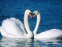 Обои для рабочего стола: Лебеди