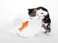 Обои для рабочего стола: Кошка и золотая рыбка