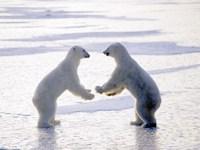 Обои для рабочего стола: Белые медведи