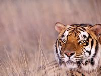 Обои для рабочего стола: Тигр