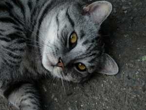 Обои Серый кот