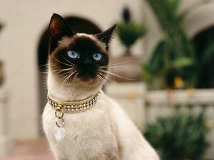 Обои Сиамская кошка