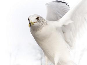 Обои Белый голубь