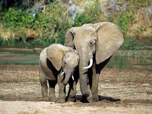 Обои Слониха со слоненком
