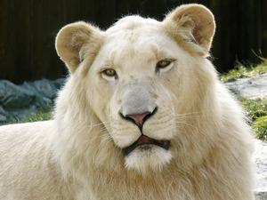Обои Белый лев