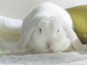 Обои Белый кролик