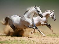 Обои для рабочего стола: Лошади